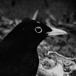 Thumbnail image of a blackbird